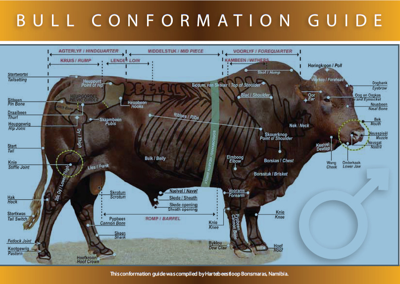 bull conformation guide